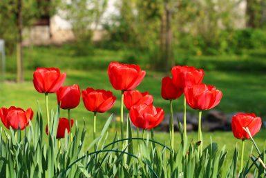 grund-tulpen rot 19201280